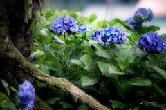 古木と紫陽花