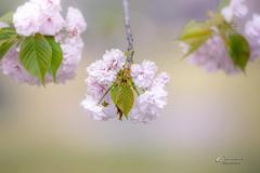 八重桜 Ⅶ