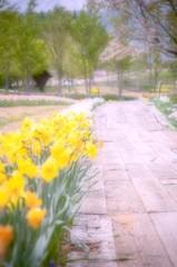 水仙の咲く小径 - 温もり