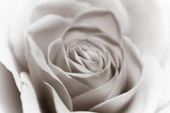 Yellow rose - monotone