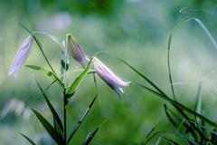 初夏の森に咲く Ⅲ