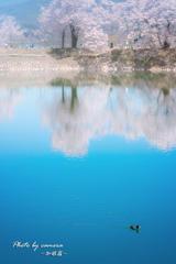 桜 映す池を・・・