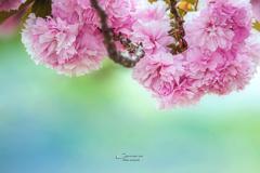 八重桜 Ⅱ