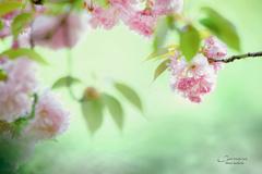 八重桜 Ⅲ