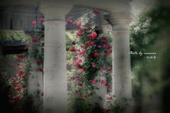 赤い蔓薔薇