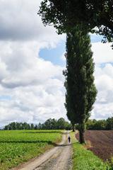ポプラ並木を全力疾走