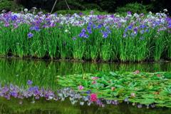 花菖蒲の水辺にて。。
