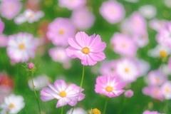 桜色のコスモス
