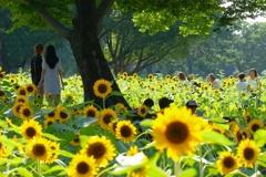 森の中の向日葵