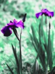 紫は古(いにしえ)の香り