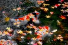 鯉する季節