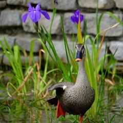 杜若(かきつばた)と鴨