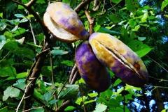 アケビ 一番甘い 木の実…♡