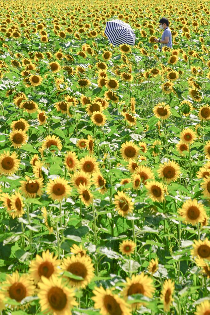 花畑の日傘
