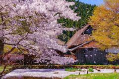 晴天桜吹雪