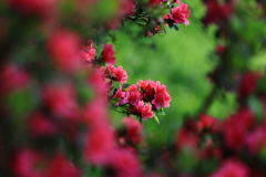 つつじ咲く季節