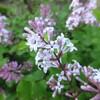 うすピンク色の花