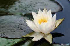 雨上がりの睡蓮