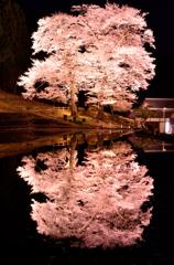 幽幻 01 - 苗代桜2015