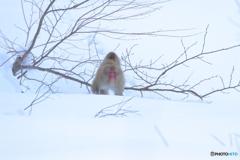 雪原をサルの親子がやってきた!
