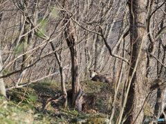 カモシカの棲む森