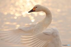 君の純白の翼