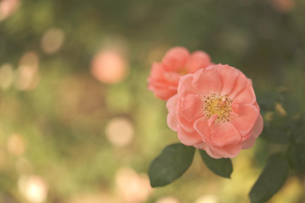この薔薇に誘われて
