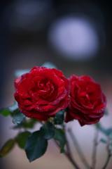 薔薇の花を君に