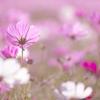 秋咲きのコスモス咲いて