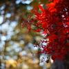 紅葉と玉暈けの共演