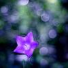きらきらスターの花