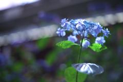ブルーな紫陽花