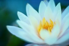 水面に咲く白い花
