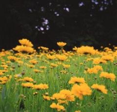 きいろい花々