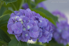 基地の紫陽花