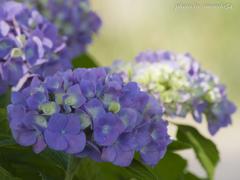 基地に咲く紫陽花