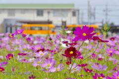駅前のコスモス畑