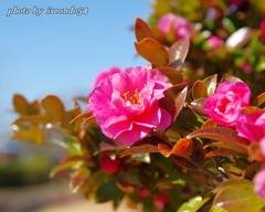 (^^♪ さざんか、さざんか咲いた道・・・