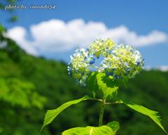 吉野山に咲き始めた紫陽花