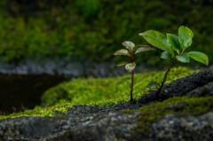 岩と苔と何かの芽