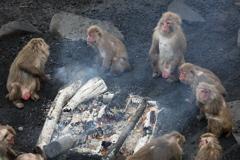 焚き火にあたるお猿さん