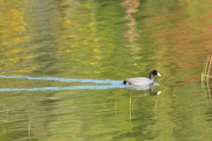 初冬の水鳥