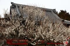 天神様の梅の花
