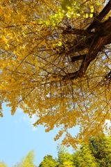 寺跡のイチョウの木