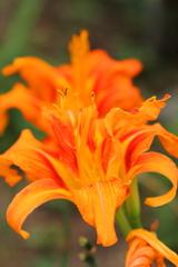 夏の花(萱草)