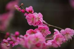天神さまの梅の花