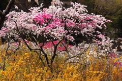 レンギョウと花桃