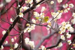 ウメジロウ、咲く
