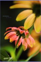 HANA・HANA 104 (Echinacea #4)