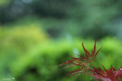 日本の梅雨
